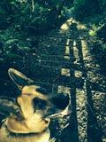 Cão de passeio na floresta Fotos de Stock