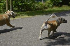 Cão de passeio pequeno com coulors agradáveis Imagem de Stock Royalty Free