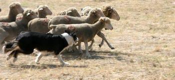 Cão de pastor Foto de Stock