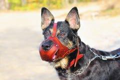 Cão de pastor Fotografia de Stock Royalty Free