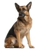 Cão de pastor alemão, 10 anos velho, sentando-se Fotografia de Stock