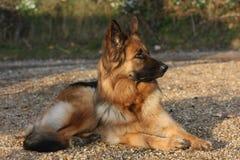 Cão de pastor alemão fotografia de stock