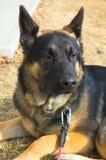 Cão de pastor alemão Imagens de Stock