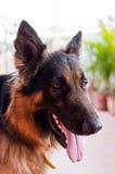 Cão de pastor alemão Imagem de Stock