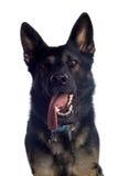 Cão de pastor alemão Fotos de Stock Royalty Free