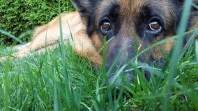 Cão de pastor alemão bonito Fotografia de Stock