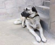 Cão de pastor anatólio Fotografia de Stock