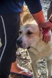 Cão de pastor asiático central imagem de stock royalty free