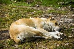 Cão de pastor asiático central foto de stock