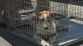 Cão de pastor asiático central vídeos de arquivo