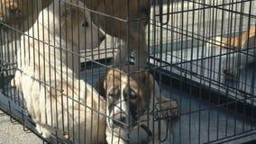 Cão de pastor asiático central video estoque