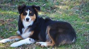 Cão de pastor australiano Foto de Stock Royalty Free