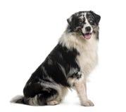 Cão de pastor australiano, 14 meses velho, sentando-se Imagens de Stock Royalty Free