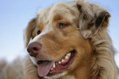 Cão de pastor australiano foto de stock