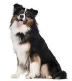 Cão de pastor australiano, 2 anos velho, sentando-se Fotografia de Stock Royalty Free