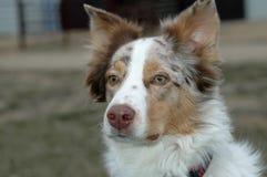 Pastor australiano Dog imagem de stock
