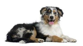 Cão de pastor australiano, 4 meses velho Fotografia de Stock