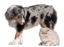 Cão de pastor australiano, 6 meses velho fotografia de stock