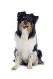 Cão de pastor australiano fotografia de stock royalty free