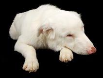 Cão de pastor australiano branco que olha triste imagem de stock royalty free