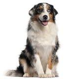 Cão de pastor australiano, o 1 anos de idade Fotos de Stock Royalty Free
