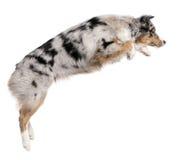 Cão de pastor australiano que salta, 7 meses velho Fotos de Stock Royalty Free
