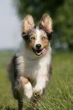 Cão de pastor australiano Running fotografia de stock royalty free