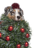 Cão de pastor australiano vestido como a árvore de Natal Fotos de Stock