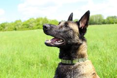 Cão de pastor belga Malinois foto de stock