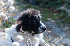Cão de pastor bonito Fotografia de Stock
