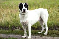 Cão de pastor bonito Imagens de Stock