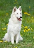 Cão de pastor branco suíço Foto de Stock