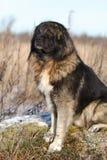 Cão de pastor caucasiano Imagens de Stock Royalty Free