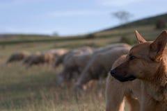Cão de pastor e rebanho borrado fotografia de stock royalty free