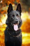 Cão de pastor preto no fundo do outono Imagens de Stock
