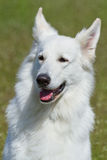 Cão de pastor suíço branco Imagens de Stock Royalty Free