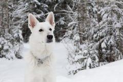 Cão de pastor suíço branco Fotografia de Stock
