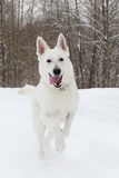 Cão de pastor suíço branco Foto de Stock Royalty Free
