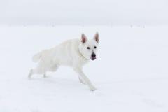 Cão de pastor suíço branco Fotos de Stock