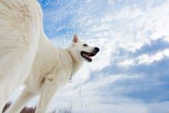 Cão de pastor suíço branco Imagem de Stock Royalty Free