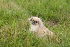 Cão de Pekingese Fotografia de Stock