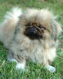 Cão de Pekingese Imagem de Stock