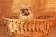 Cão de Pekingese Foto de Stock