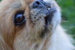 Cão de Pekingese Fotos de Stock