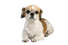 Cão de Pekingese no branco foto de stock