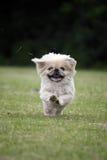 Cão de Pekingese que funciona muito rapidamente imagens de stock