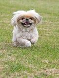 Cão de Pekingese que funciona muito rapidamente Fotografia de Stock Royalty Free