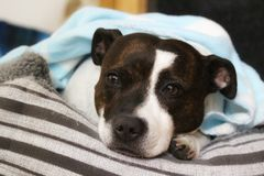 Cão de pensamento de Staffordshire bull terrier Imagens de Stock Royalty Free