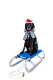 Cão de pequeno trenó Imagem de Stock Royalty Free