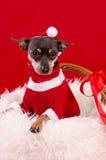 Cão de Pincher em cores do Xmas Fotografia de Stock Royalty Free